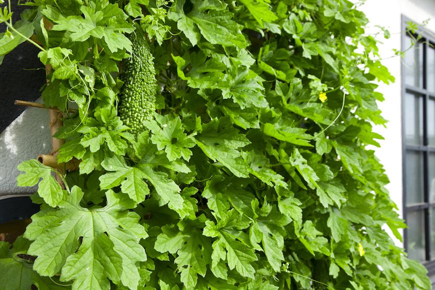 グリーンカーテンはいいことづくし。おすすめ植物と作り方のコツとは?